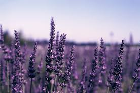 7 Benefits of Lavender's Health - healthy t1ps