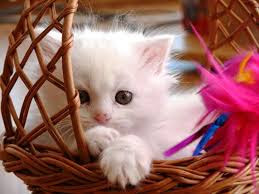 New Baby Cats Animal Hd Wallpape39