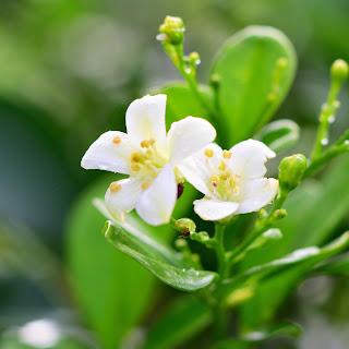 jasmine in costa rica