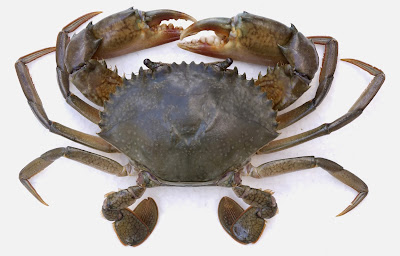 Mud Crab Growth Rate Usage for Fast Profit Production Method