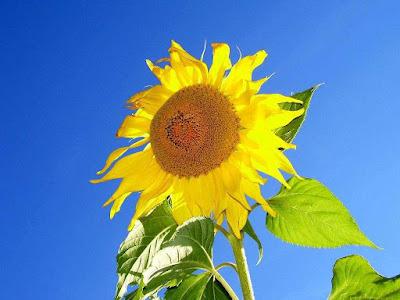 Wallpaper girasol sunflower