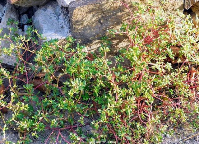 w balsku greckiego słońca portulaka warzywna o zielonych listkach i czerwonej lodyżce pnie się po kamieniu