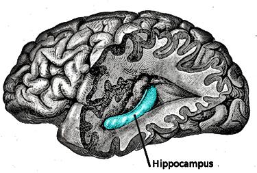 left hippocampus