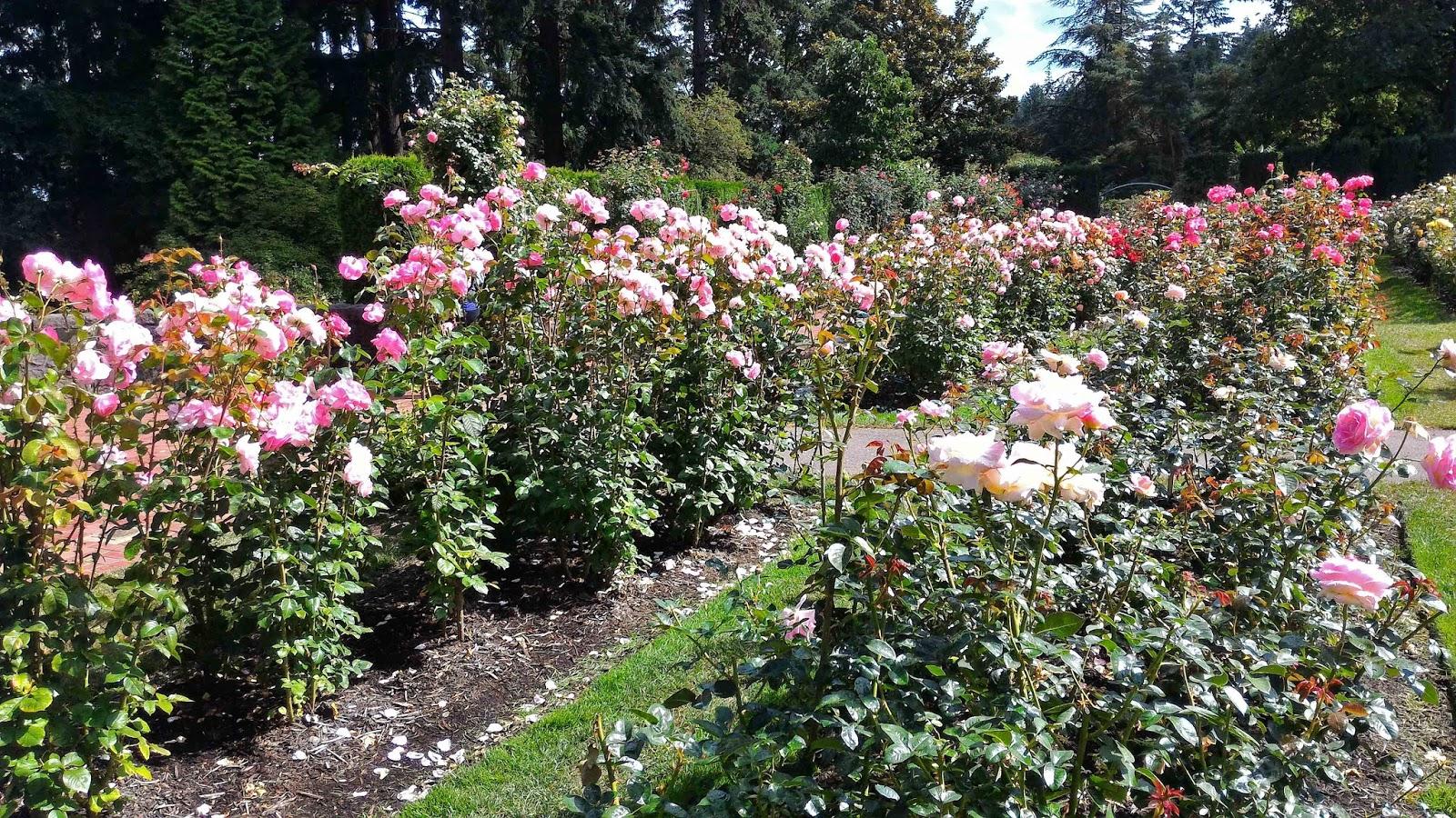 Portland international test rose garden august 2016 - International rose test garden portland ...