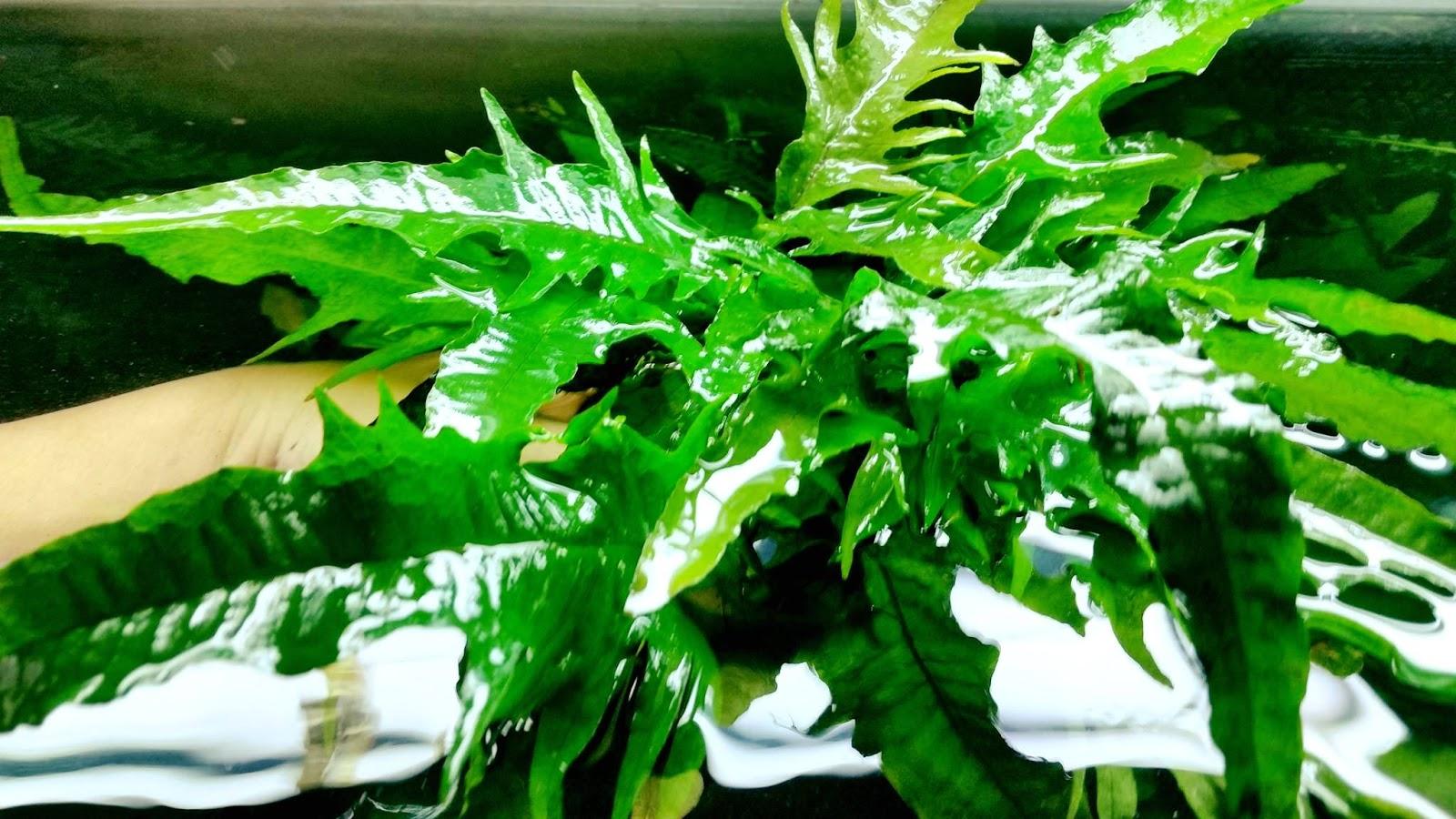 Cận cảnh cây thủy sinh dương xỉ phoniex