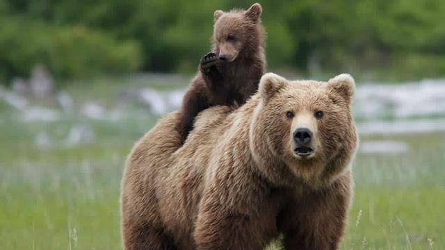 صورة صغير الدب مع أمه