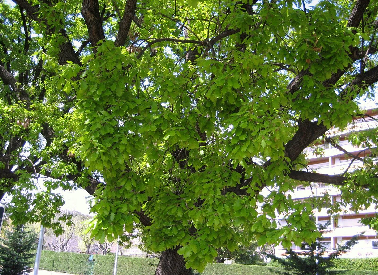 Rboles con alma roble pubescente roure martinenc for Arboles de jardin de hoja caduca