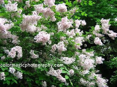 Wild lilac bush with pink flowers