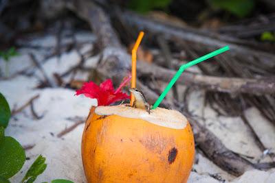 Echse frisst die Reste einer Kokosnuss