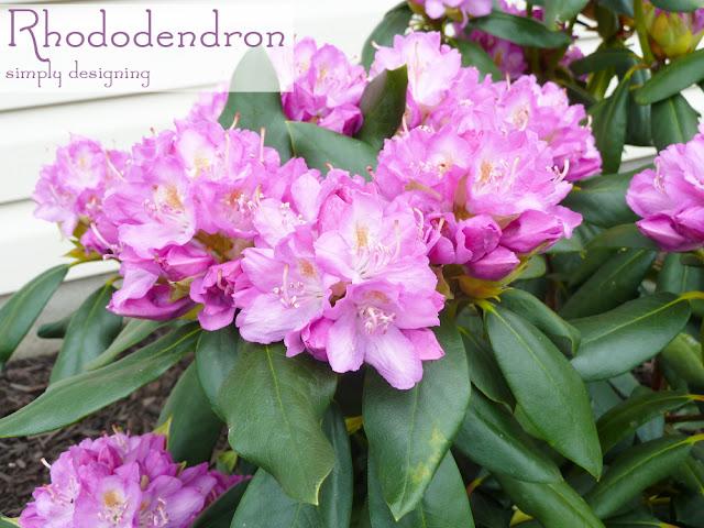 RhododendruRhododendron ~ #garden #plant #website #HGTVGardens #sponm ~ #garden #plant #website #HGTVGardens #spon