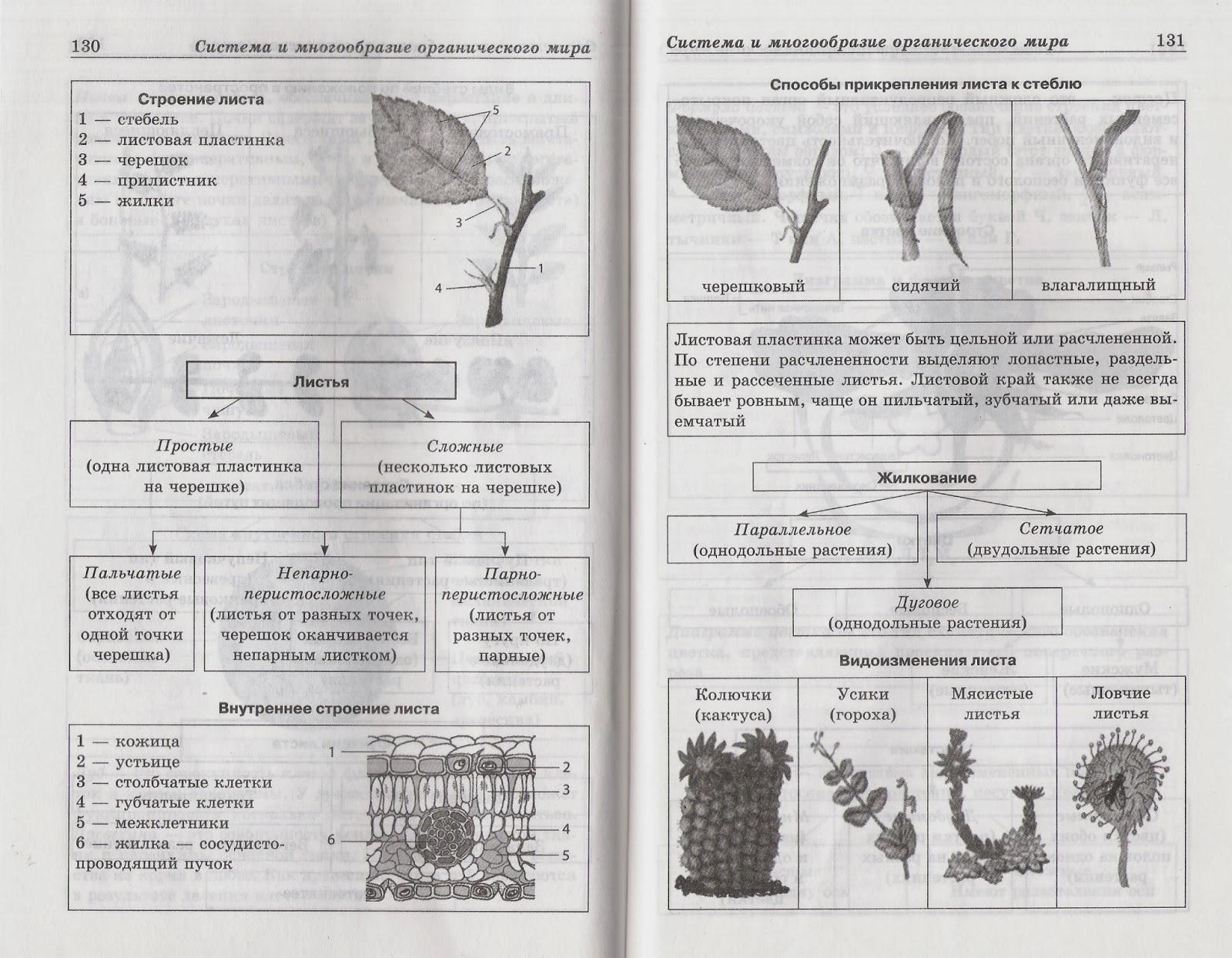 внутреннее строение древесного стебля схема