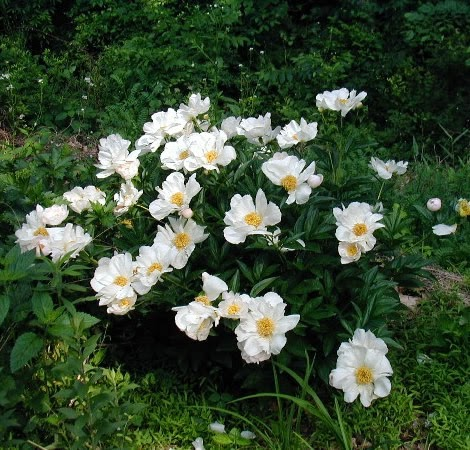 Blooming white peony