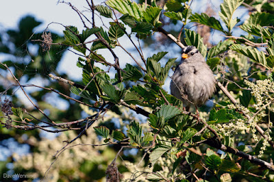 White-crowned Sparrow near Boathouse Beach