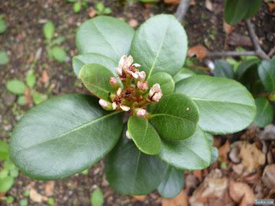 シャリンバイの花