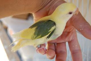 Lovebird yang Berkualitas - Pemilihan Burung Lovebird yang Berkualitas dan Bagus Untuk Harian dan Lomba