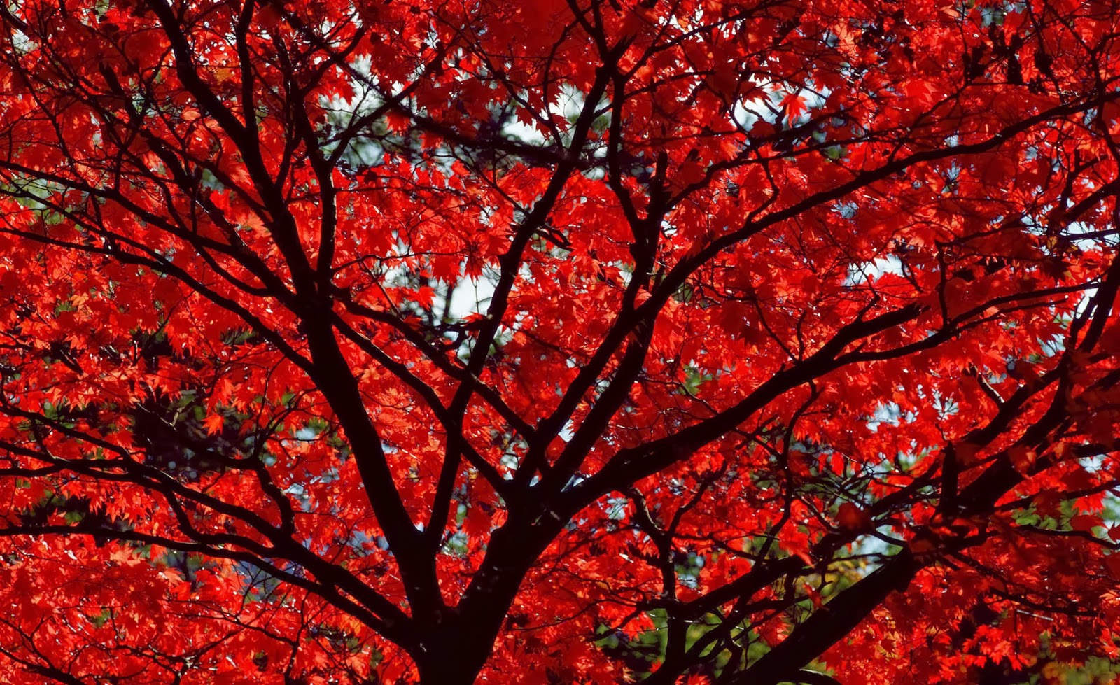 HD Wallpapers Desktop: Autumn Wallpaper With Red Leaves