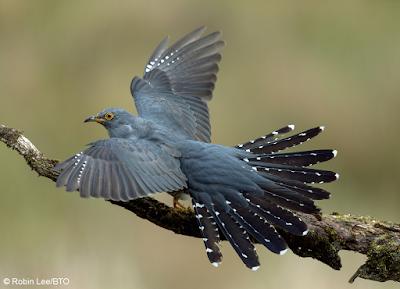 Cuckoo by Robin Lee