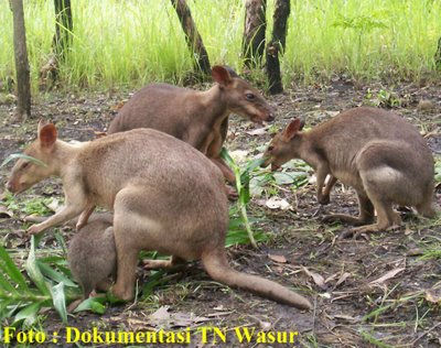Image Result For Papua Monyet