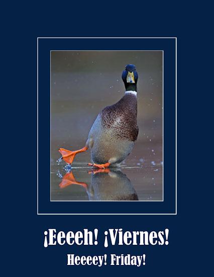 skiding-duck