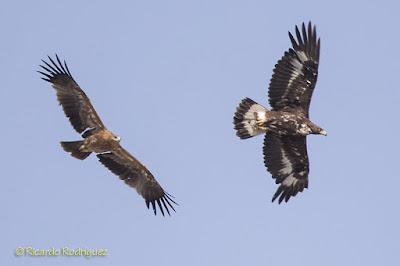Águila imperial ibérica y Águila real