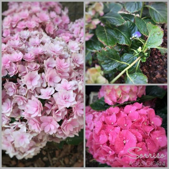 sorrisoa365giorni-giardino-ortensie