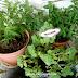 Tanaman herba dalam pasu di rumah - Edible Garden