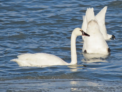 Tundra Swan - Marysville, Wolfe Island, ON - see the yellow?