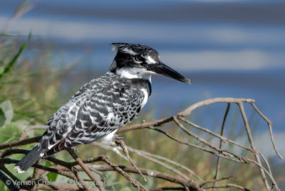 Close Encounter with Pied Kingfisher in the Table Bay Nature Reserve Image 1 / 2