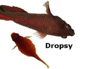 Penyakit ikan dropsy