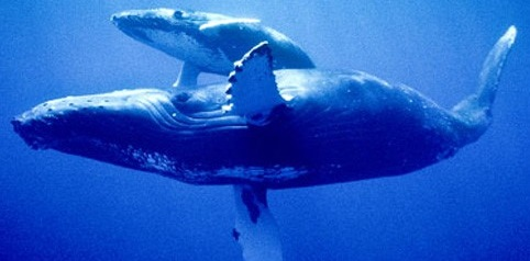 humpback-whales-feeding-breeding-migration-lifespan