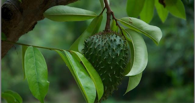 khasiat manfaat daun sirsak bagi kesehatan