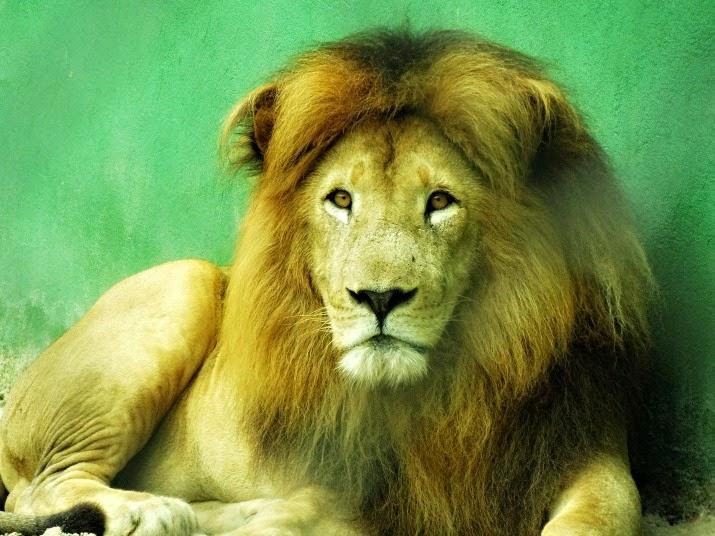 Leão no Parque Cyro Gevaerd (Santur)