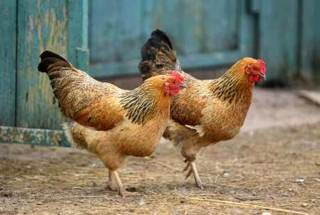 Ayam Kampung Petelur