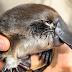 Curiosidades del ornitorrinco