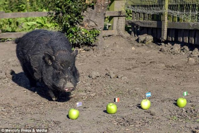 Psychic pig predicts Nigeria will make World Cup semi-finals