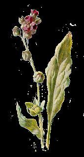 flower botanical illustration wildflower image