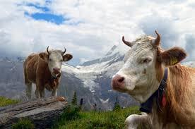 İsviçre İneklerin Boynuzları İçin Referanduma Gidiyor