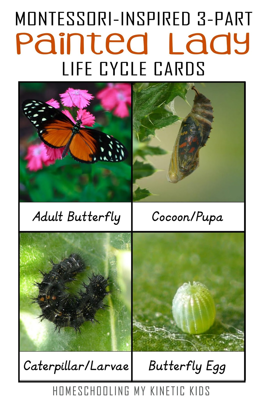 Painted Lady Butterfly Life Cycle 3 Part Cards