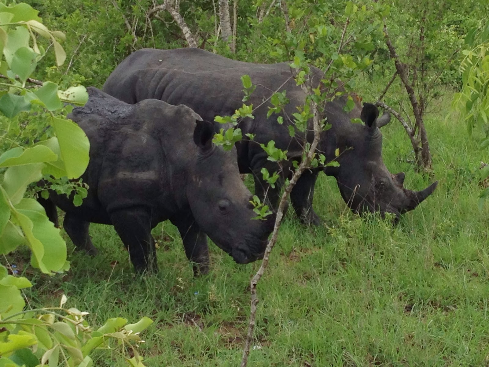 Sabi Sands - This is a brother and sister pair of white rhinos