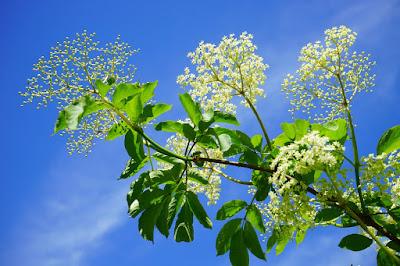 herbal, bunga elderberry, elderflower, elderberry, manfaat bunga elderberry, kandungan bunga elderberry, nutrisi bunga elderberry, bunga elder,