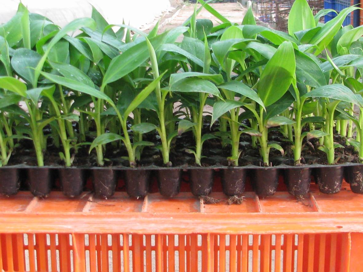 How To Grow Banana Plants From Seeds