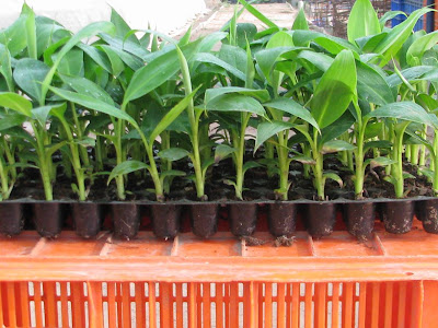 How to grow banana plants from seed