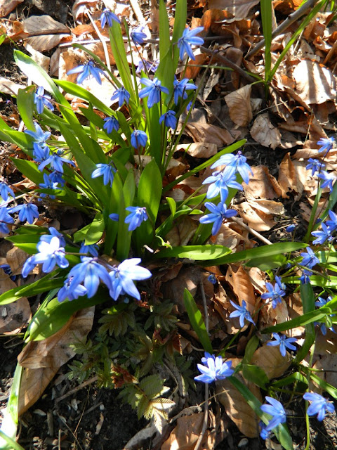Siberian squill (Scilla siberica) spring blooms by garden muses: a Toronto gardening blog