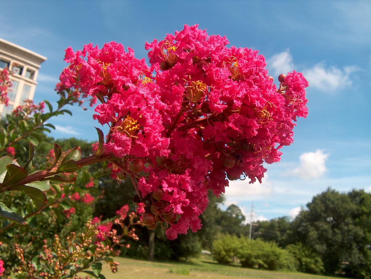 Hoa Tử Vi là một loài hoa đẹp và nhẹ nhàng