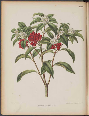 Botanical illustration of Skimmia japonica female form