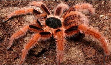 Klasifikasi Laba Laba Tarantula