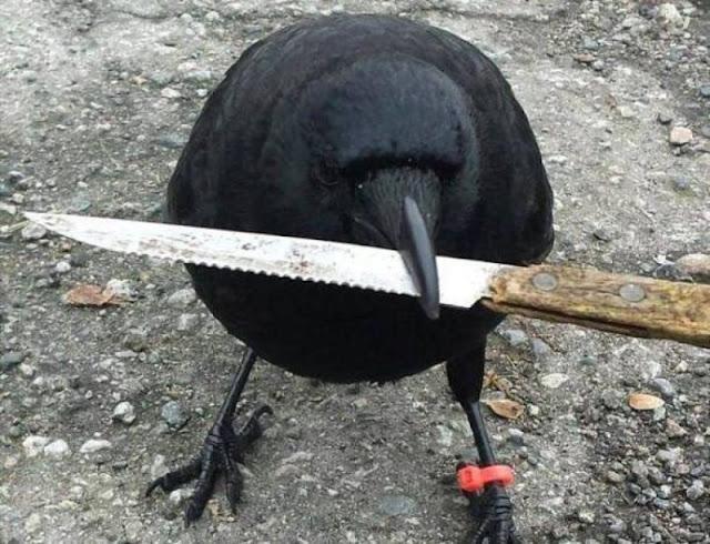 Canuck es el cuervo que tiene aterrorizado a un barrio de Vancouver