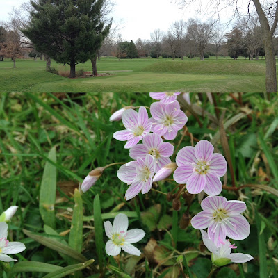 Octagon State Memorial Earthworks and its blooming Spring Beauties.  Image Courtesy of the Newark Earthworks Center's Megan Cromwell.