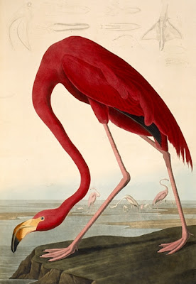 John James Audubon flamingo