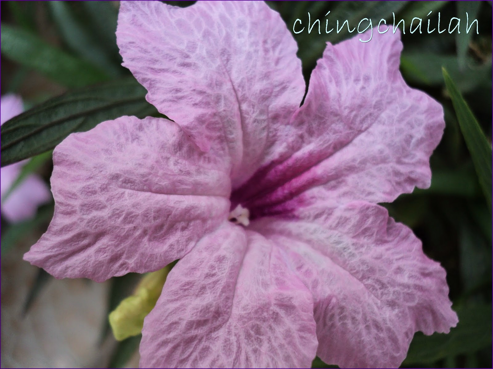 Simple Living In Nancy Purple Pink And White Dwarf Mexican Petunia